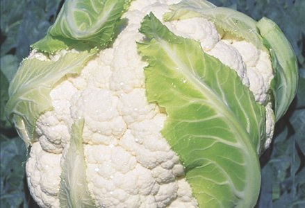 ATALAYA F1 - A hybrid, male sterile cauliflower with good-sized heads, and a weight of around 1000-1300 g, it is very compact and highly resistant. The plant is vigorous with a cycle of 90-95 days, and is ideal for autumn harvesting, it has good leaf covering, which ensure that the head is well protected. This variety is suitable for both the fresh market and industrial production.